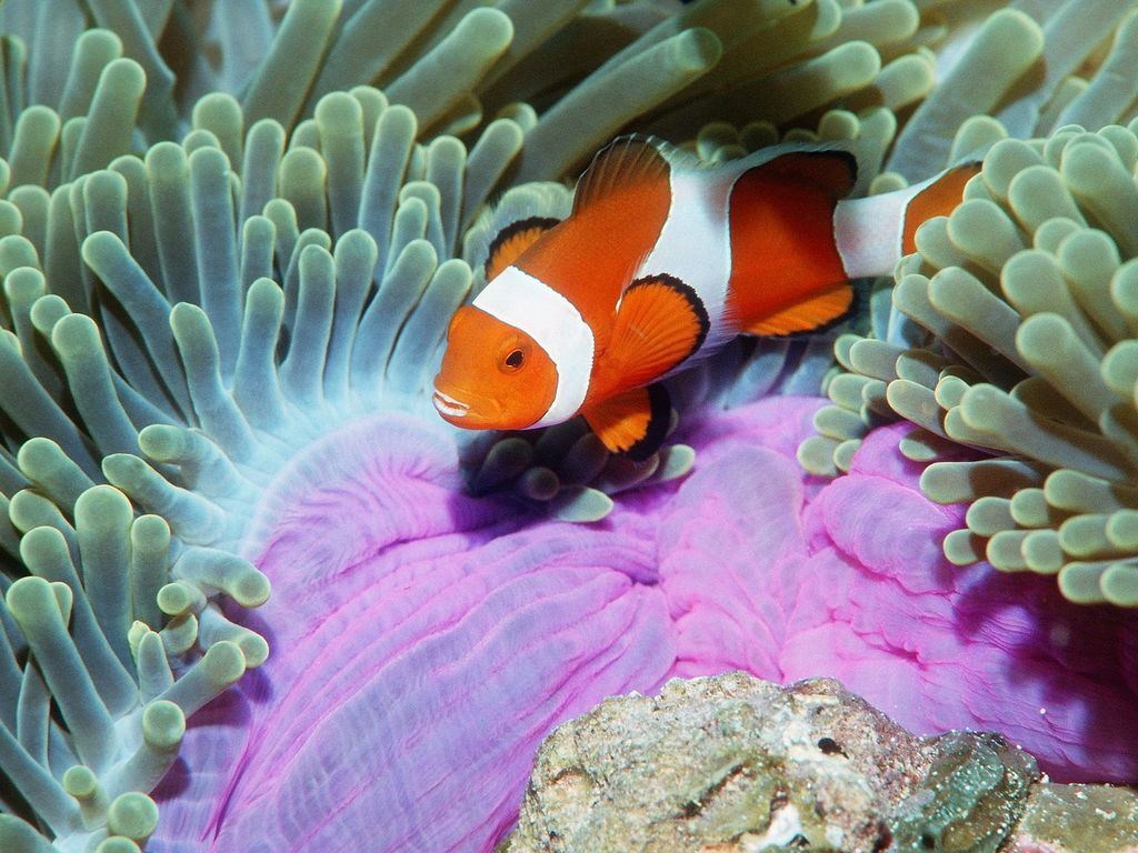 alse clown Anemonefish Similan Islands Andaman Sea, Thailand