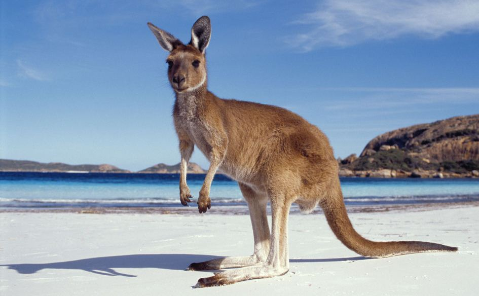 Kangaroo on Australian Beach