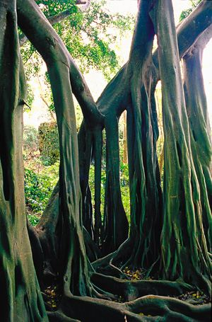 The Bearded Fig Tree Barbados(1)