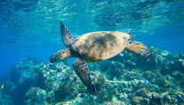 Nyaman - Snorkeling with Turtles