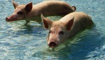 SOLSTICE -  Swimming Pigs of the Exumas