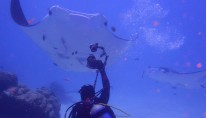 SY ASIA - Diving with manta rays