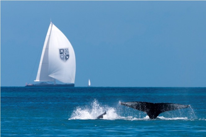 Sailing yacht Kokomo  and a Humpback Whale - Photo Credit Andrea Francolini.