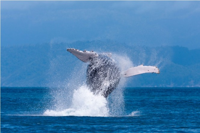 Whale jumping at Audi Hamilton Island Race Week 2010 - Photo Credit Andreay Francolini.