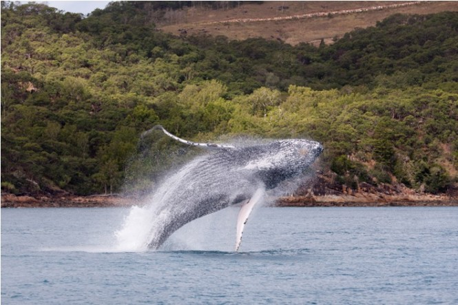 Whale playing off Hamilton Island at the Audi Hamilton Island Race Week 2010 - Photo Credit Andreay Francolini.
