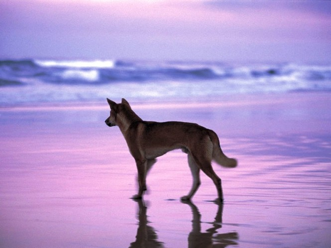 Fraser Island, dingo on beach