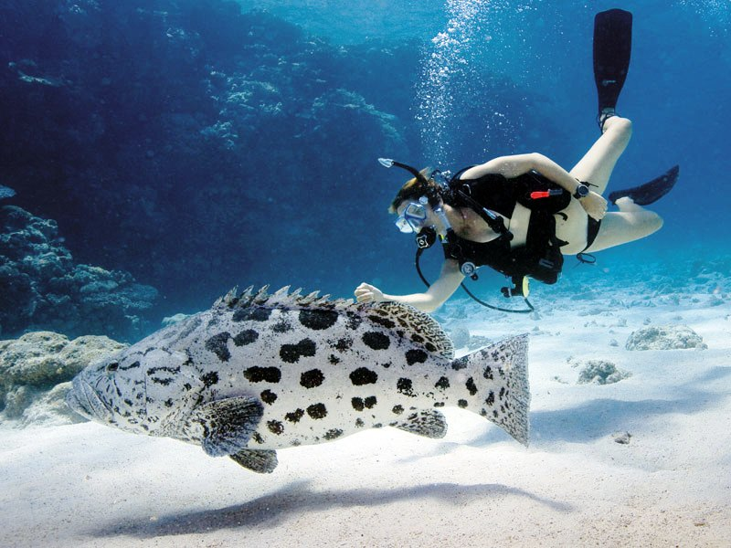 Lizard Island scuba diving with cod