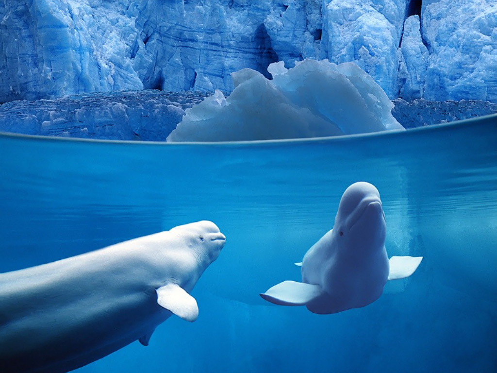 Belugas underwater ocean life june 8 is world oceans day