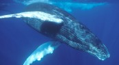 Luxury Catamaran Necker Belle offers Humpback Whale Watching Charters - Photo courtesy of Tom Conlin of Aquatic Adventures