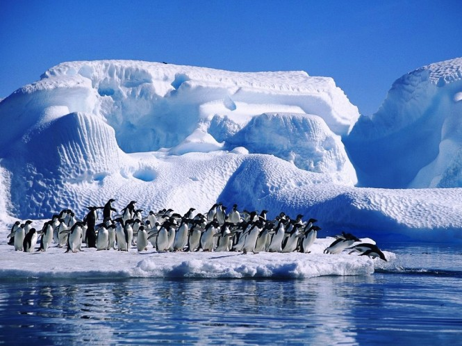 Adelie Penguins - Antarctica