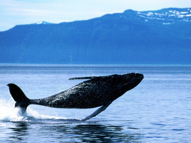 Breaching Humpback Whale - Patagonia is teeming with wildlife including sea lions, elephant seals, southern right whales, dolphins, Magellanic penguins and even the occasional orca.