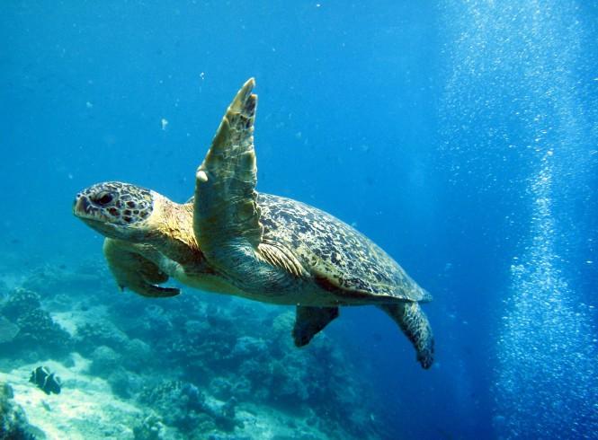 Turtle Diving in the Sipadan Island