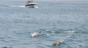 Dolphin watching on a local cruise