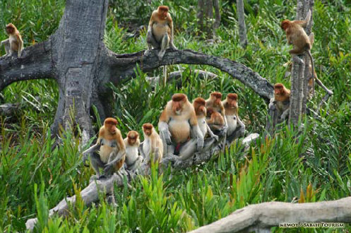 BORNEO Proboscis Monkeys along the Kinabatangang River