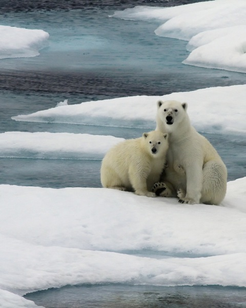 Members of EYOS Expeditions had a unique chance to admire polar bears during their transit