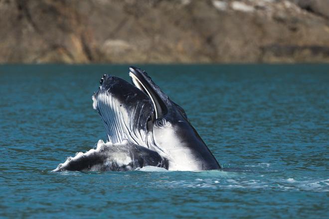 AHIRW 2013 - whale - Photo credit to Andrea Francolini/Audi