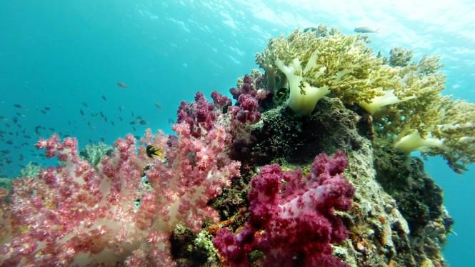 Dunia Baru yacht - soft corals in Indonesia