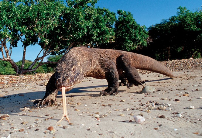 Komodo Island's famed resident, the komodo dragon