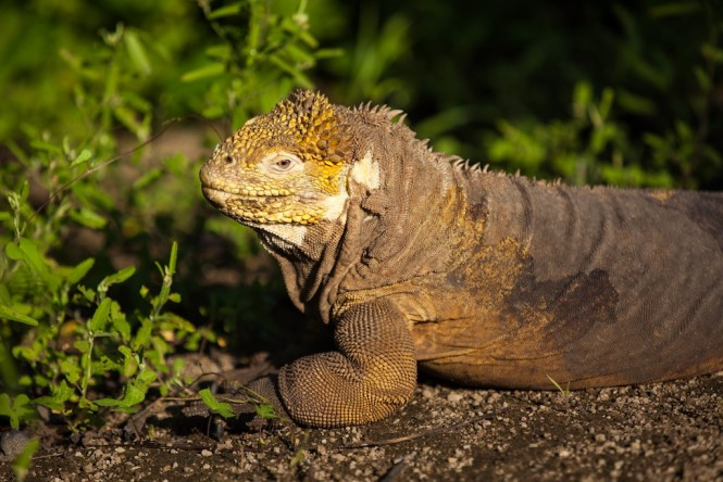 West - Land Iguana -  Urbina Bay - Photo Marika Roberson