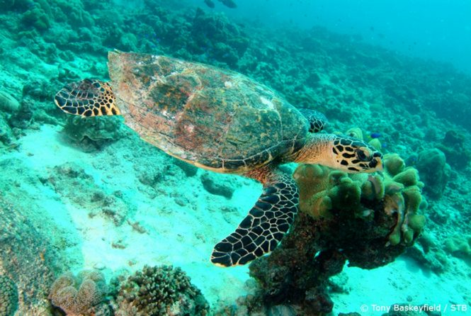 Hawkbill turtle. Photo credit Tony Baskeyfield via Seychelles Tourism Board