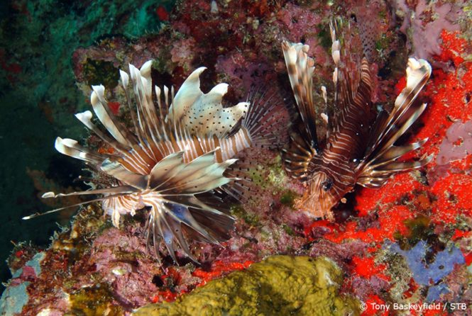 Lionfish. Photo credit Tony Baskeyfield via Seychelles Tourism Board