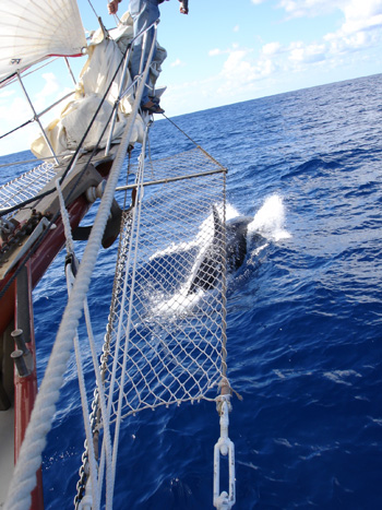 Bonnie Lynn - sailing with orca