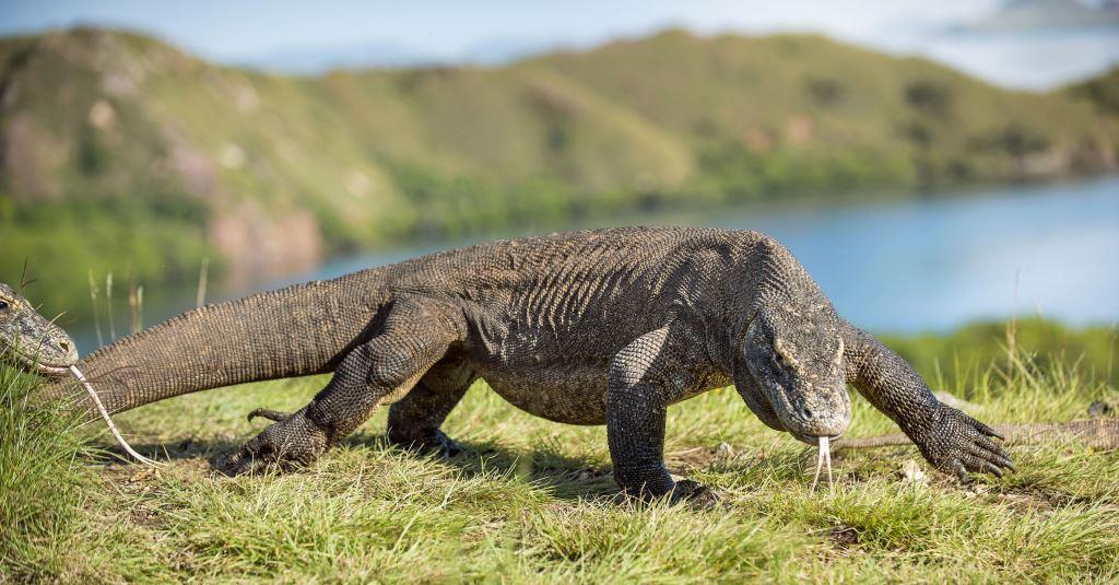 Nyaman - Komodo Dragon