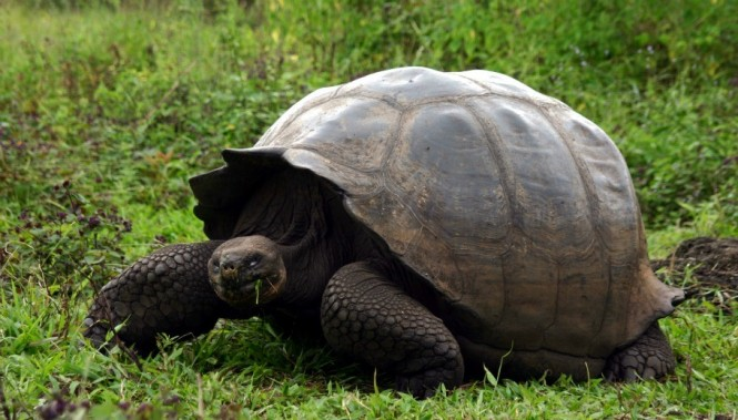 Tortoise by Don Audette of Sterling Heights, MI, USA  - Image credit Galapagos.com