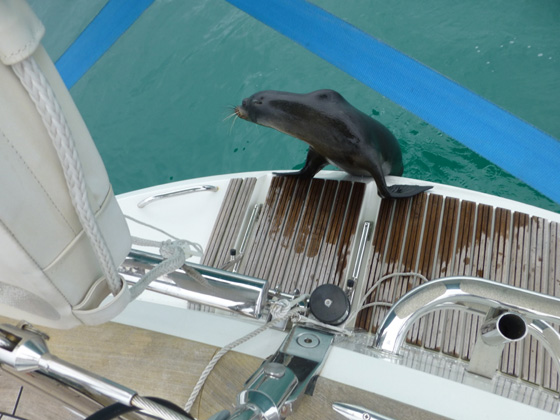 A seal visiting one of the Oyster yachts