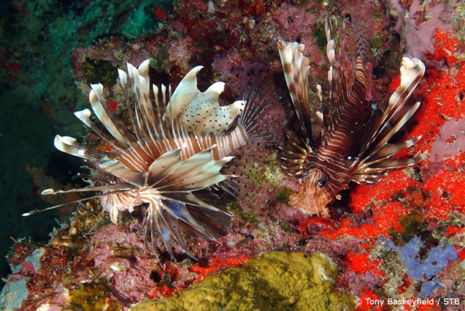 Lion Fish - Image credit to Seychelles Tourism Board