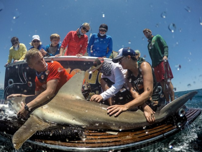 Shark Tagging with University of Miamis Shark Research and Conservation aboard Fleet Miamis D/Y Shredder- Photo Credit Frank Gibson