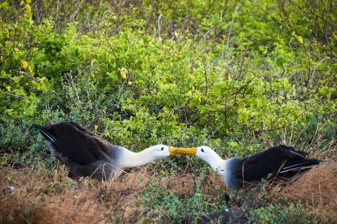 East - Waved Albatross  - Photo Bill Roberson