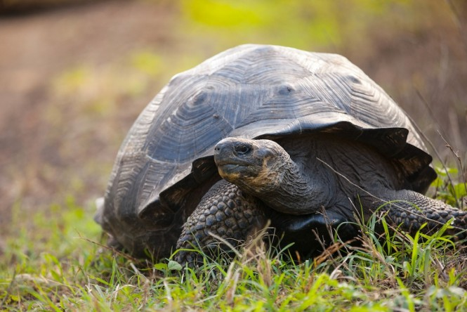 Giant Tortoise - Santa Cruz - Photo Weston Walker