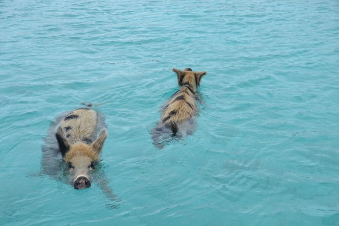 Pigs Swimming in the Bahamas - Photo ©Bahamas Ministry of Tourism