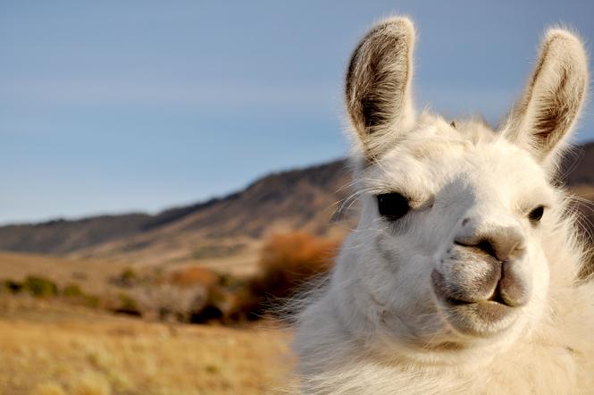 Patagonian Llama
