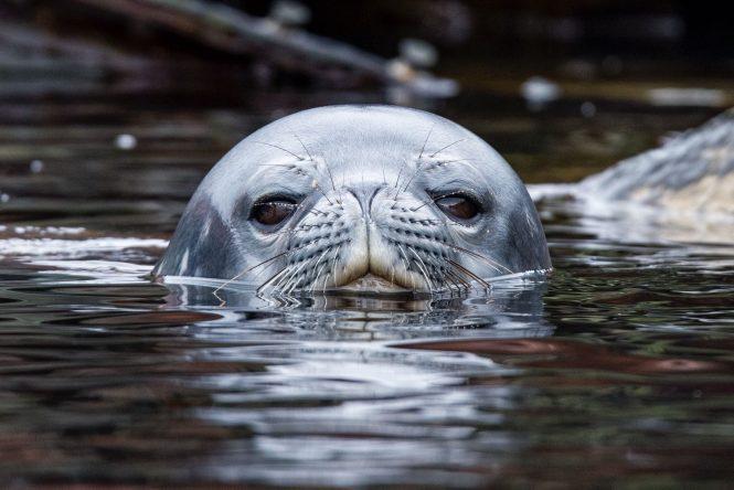 Antarctica - Seal - Photo © Nicolas Benazeth : CharterWorld.com