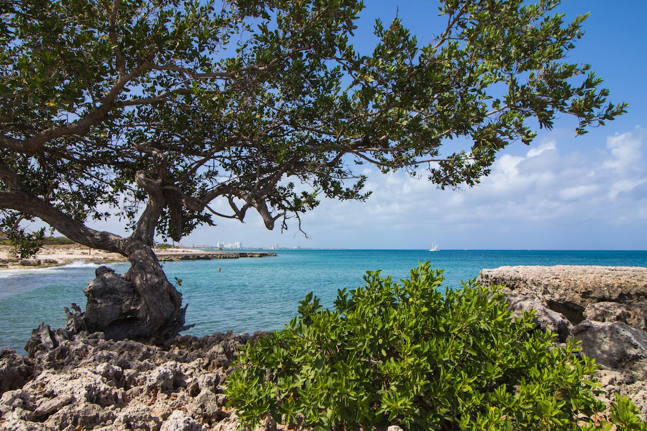 Aruba Divi Divi Tree