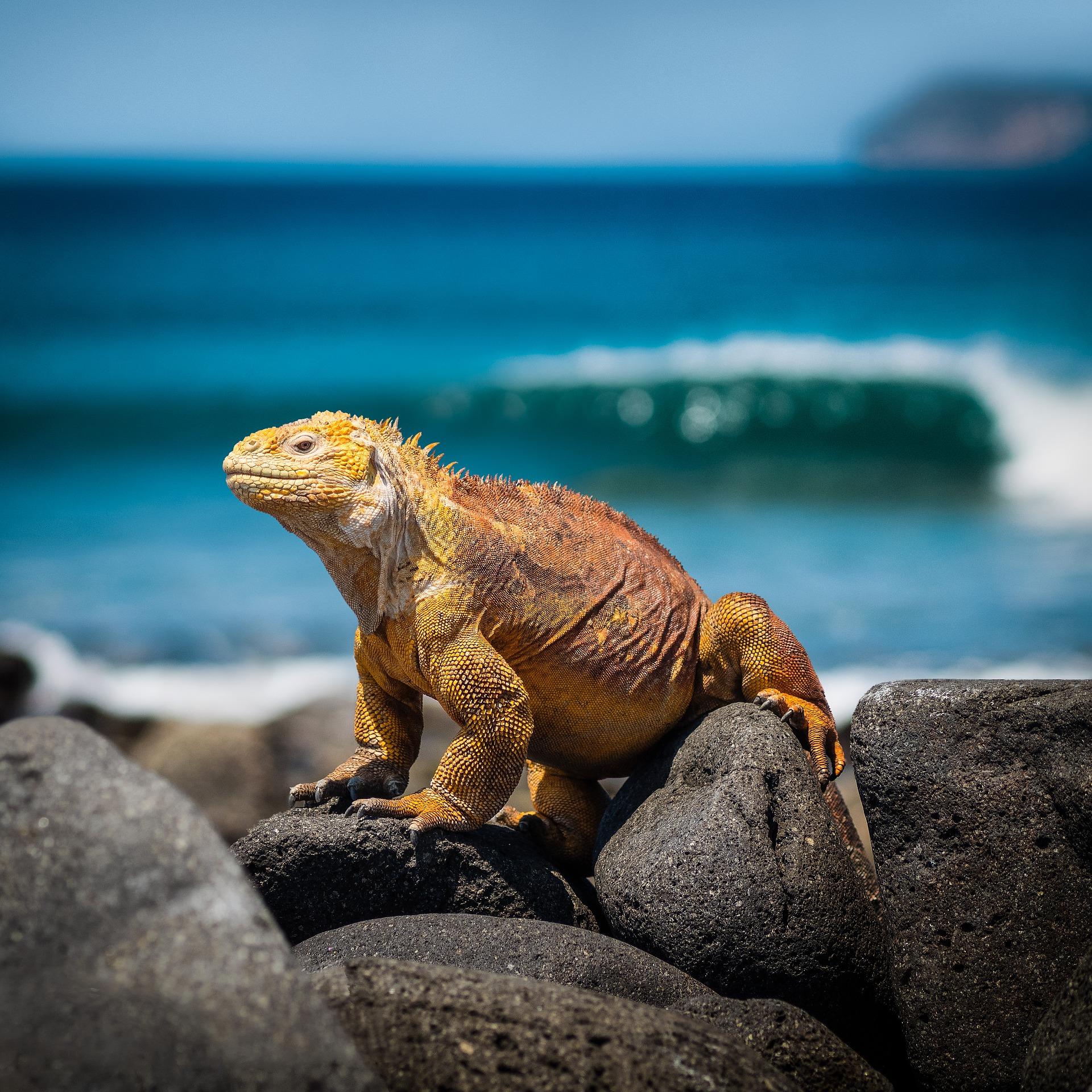 Iguana Lizard of the Galapagos Islands