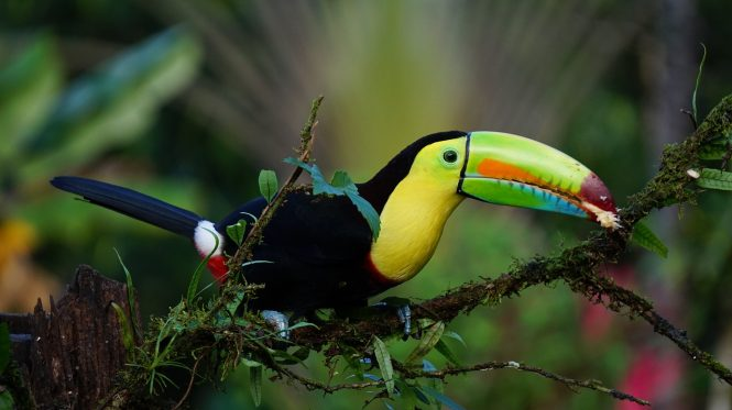 Keel Billed Toucan © FINTAN O' BRIEN